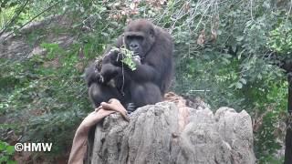 ゴリラ #上野動物園 撮影日2018年10月13日 お名前まで見分けがつきませ...