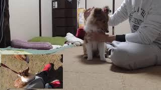 手に負えない愛犬の躾や基本の躾のご依頼は下記まで当方は愛知県在住で...