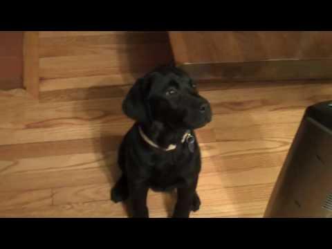 Midnight, Black Labrador, opens Christmas present