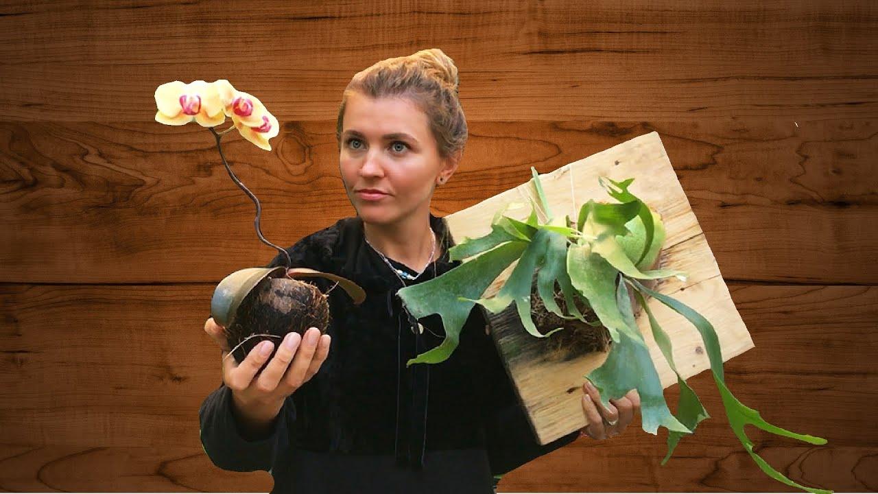 Как сейчас выглядят мои растения после пересадки и омоложения (Орхидея, Платицериум)