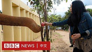 世上最孤獨大象:被囚禁35年後 美國巨星Cher出手營救- BBC News 中文 - YouTube