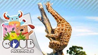 Смешные видео про животных #2 | COUB | Приколы с животными
