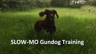 Slow-mo Gundog Training Cocker Spaniel
