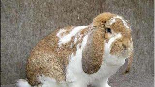 купил  кролика  порода французский  баран  .(, 2017-04-18T12:05:57.000Z)