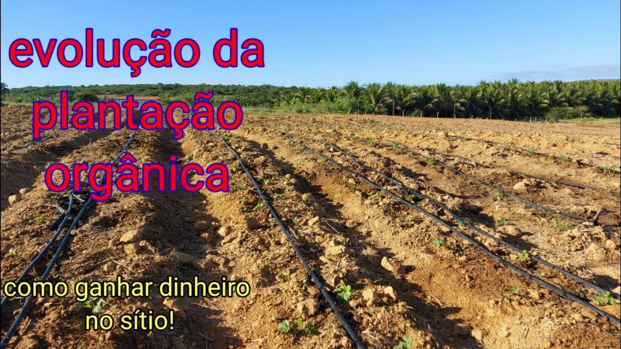 #comoGanharDinheiroNoSitio?como está minha plantação orgânica!!!