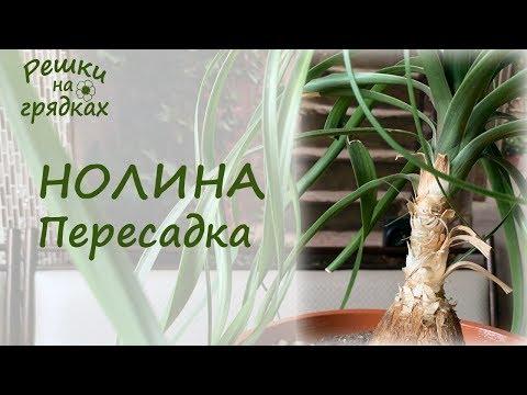 Нолина (бокарнея) или бутылочное дерево Пересадка / Главный секрет ухода