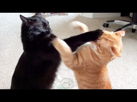 NINJA CATS! There's absolutely NOTHING MORE FUNNY! - Impossible TRY NOT TO LAUGH compilation