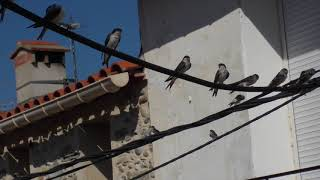 Ep 1 First Flight of Baby House Martins in French Village