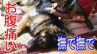 grandchild and #GermanShepherd #dog #大型犬#ジャーマンシェパード犬...