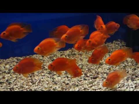 Рыба КРАСНЫЙ ПОПУГАЙ (Red Parrot Cichlid) (Blood parrot cichlid)