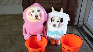 Dogs Trick or Treat on Halloween: Funny Dogs Maymo & Penny