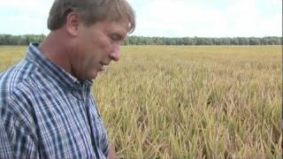 Rice Harvest Begins