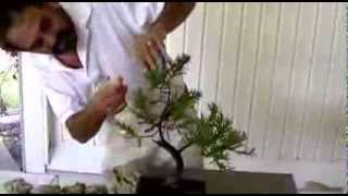 """Bonsai with Merv tip 9-25 """"How to deal with Spider mites."""""""