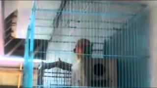 Masa Kawin Burung Lovebird
