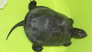 Европейская болотная черепаха в Краснодарском крае