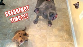 Talking Pitbull Teaching His Puppy Brother How To Get His Way!