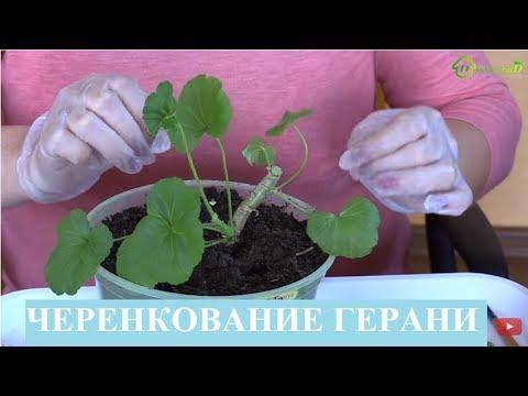 Размножение ПЕЛАРГОНИИ герани черенками, черенкование ГЕРАНИ пеларгонии