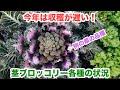 動画で家庭菜園『茎ブロッコリー各種の状況…今年は収穫が遅い! 例の紫の品種も紹介…