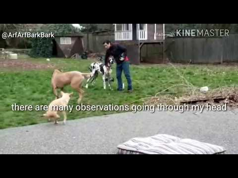 Great Dane DOG AGGRESSION Deemed DANGEROUS by Animal Control
