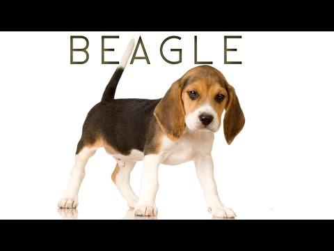 BEAGLE | பீகில்  | Storyboard