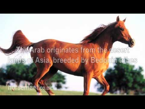 The Horsemart breed guide to Arab