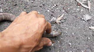Săn rắn hổ (F2)🐍.bắt được con rắn lạ 🐍.  Hunt the cobra(F2)🐍, catch the strange snake 🐍.