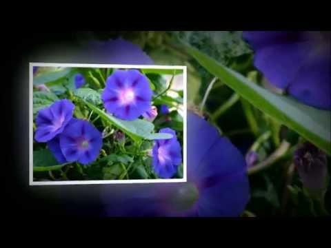 Ипомея: выращивание на балконе и в саду