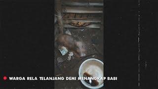 Gempar Penangkapan Babi Diduga Jadi - jadian