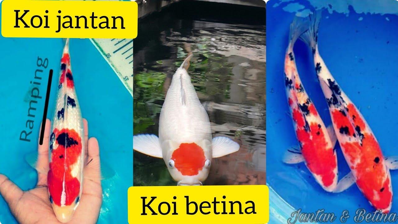 Cara membedakan ikan koi jantan dan ikan koi betina#how to ...