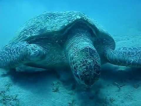 Plongeur rencontre tortue