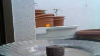 germinacion con jiffys o base de turba prensada thumbnail