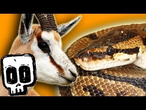 African Rock Python vs Springbok - Deadliest Showdowns (Ep 13) - Earth Unplugged