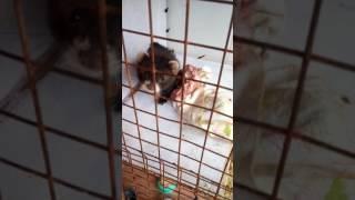 Лесной хорек в домашних условиях в клетке