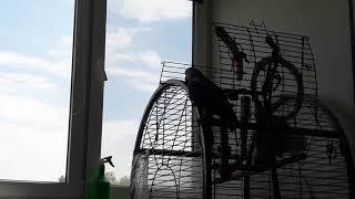 Попугай жако Эврика (муха-пердуха)
