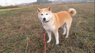 柴犬のチコチコ動画日記 http://www.iris-pet.com/wan/shiba-chico2/ 『...