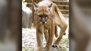 Big Cat Rescue: Crippled Cougar Undergoes Emergency Leg Surgery