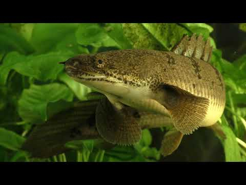 Secrets Of The Polypterus