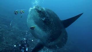 バリ島ダイビング 巨大マンボウのクリーニング Molamola