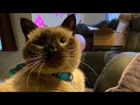 Siamese Cat Grooms and Charms