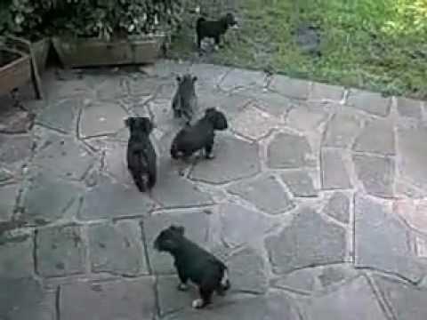 Mini Schnauzer Puppies UK