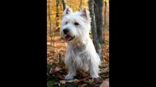 west england white terrier