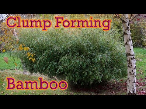 The Best Clump Forming Bamboo You Can Grow - Fargesia Guide