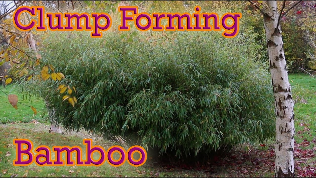 The Best Clump Forming Bamboo You Can Grow Fargesia Guide Youtube