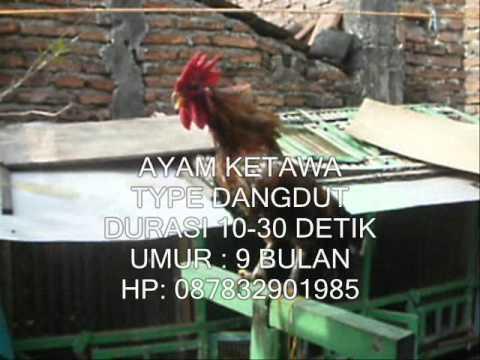 AYAM KETAWA DANGDUT-30DTK.wmv