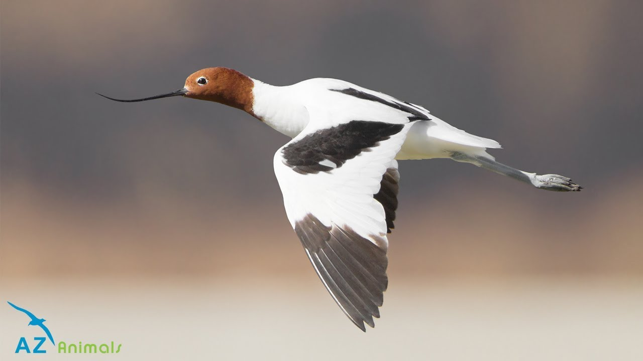 Avocet Bird: The Type Of Wading Bird That Is Found Across Mudflats In The  Worldu0027s Warmer Climates. AZ Animals