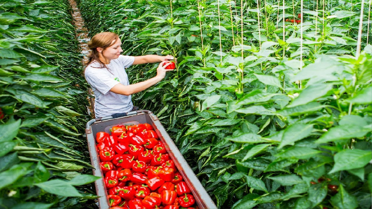Awesome Greenhouse Bell Pepper Farming - Modern Agriculture Technology