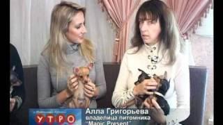 Video, Русский той-терьер