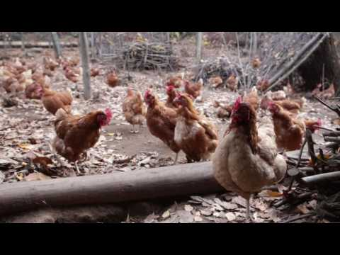 A Different Kind of Chicken Farm - Italian Farmer Raises Thousands of Chickens in the Woods