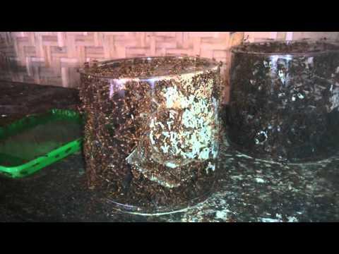 Bibit Semut Kroto | 081328848153 |Jual semut kroto
