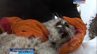 Ветеринар спасает рысь
